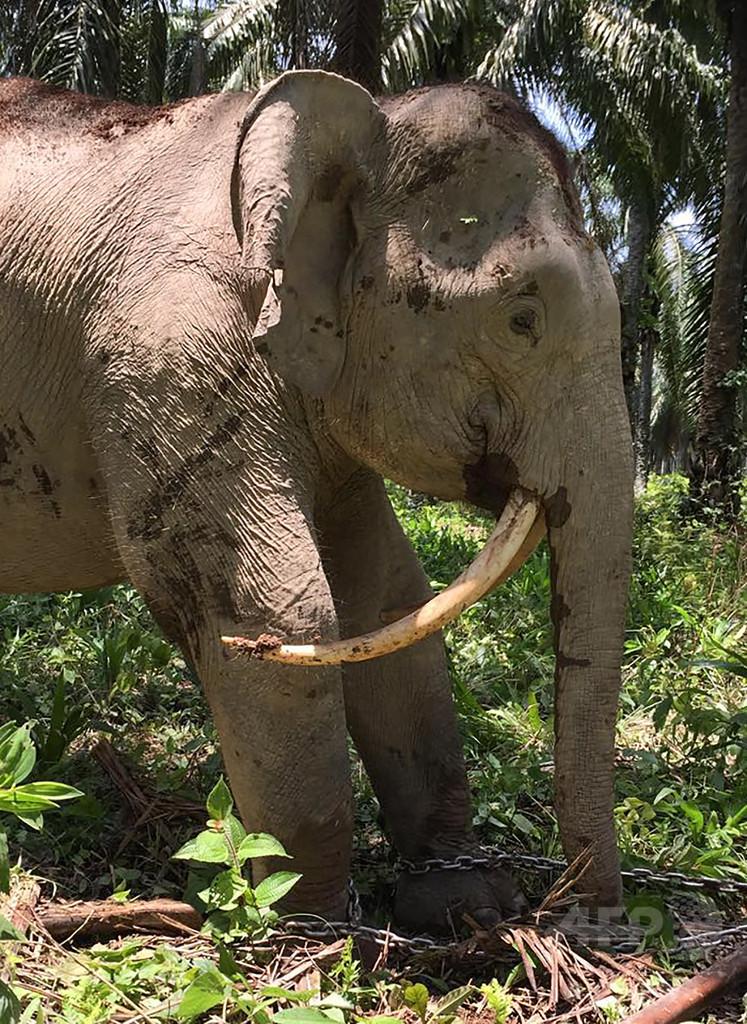 サーベルタイガーのような牙のゾウ、マレーシアで見つかる
