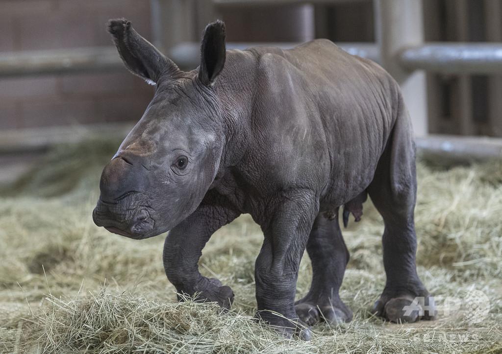 人工授精でミナミシロサイの赤ちゃん誕生、絶滅寸前の亜種にも希望