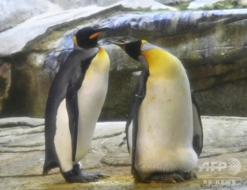 そして父になる?雄ペンギンのカップル、本物の卵を温め中
