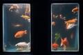 捨てられた金魚600匹、水族館で「第二の魚生」 仏パリ