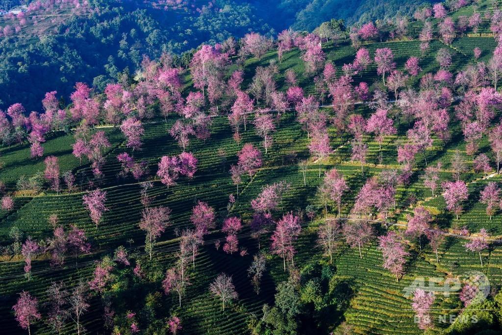 冬を飛び越し!? 山桜が満開に 中国雲南省・大理 写真6枚 国際ニュース ...
