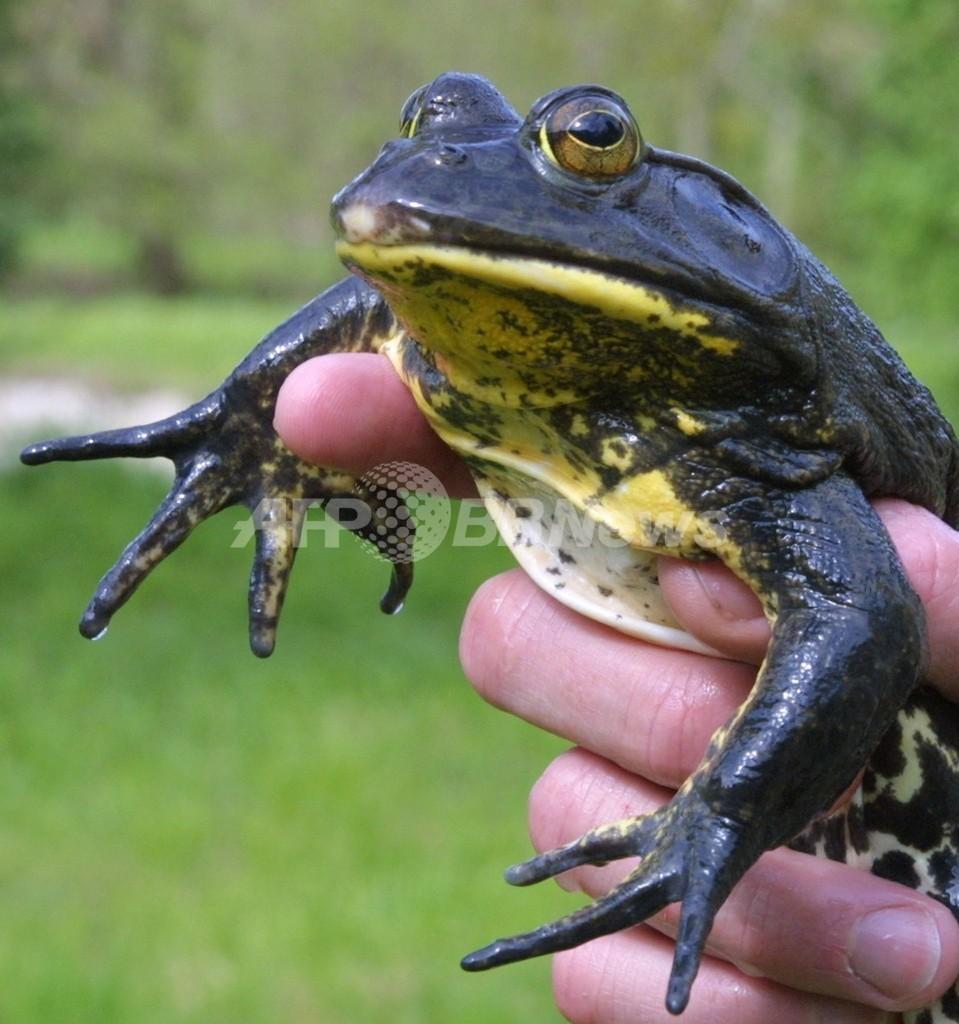 カエルが王子様に?カエルの皮膚からアンチエイジング物質を発見