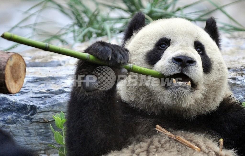 パンダが食糧難、四川大地震の被災地域