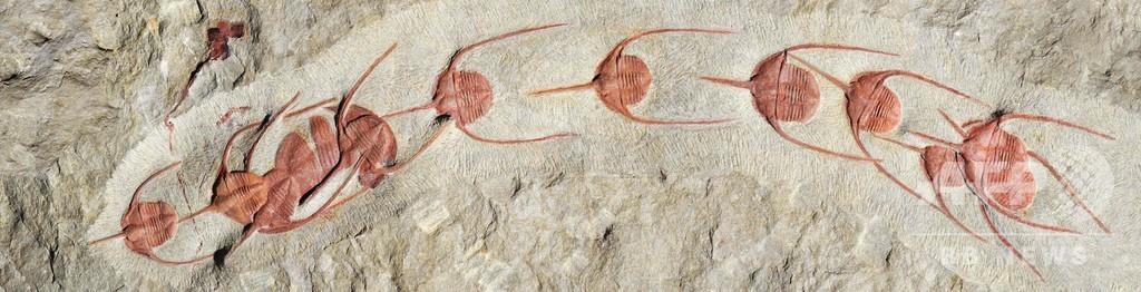5億年前の「行進」 化石発見、最古の集団行動か