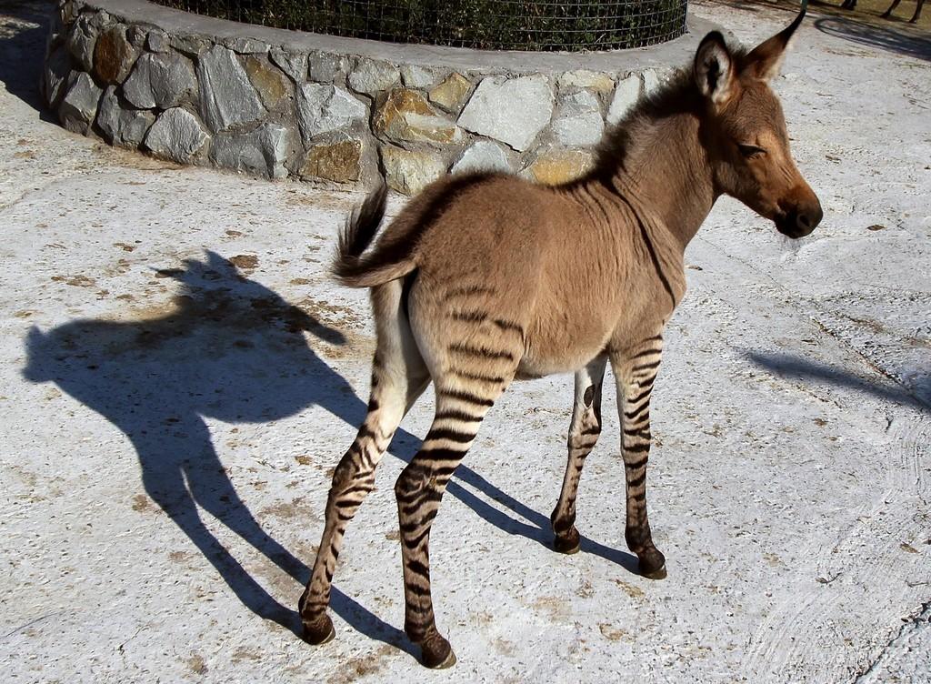 母はシマウマ、父はロバ… クリミアの動物園で「ゾンキー」誕生