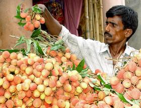 インドの奇病、原因は果物のライチ?