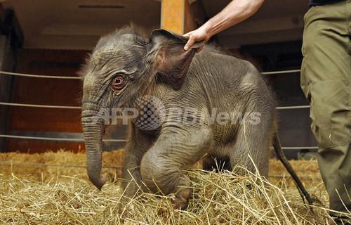生後2日目のアジアゾウの赤ちゃん、ドイツ