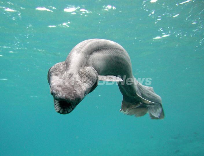 深海に生息する珍しいサメ、「ラブカ」 - 静岡