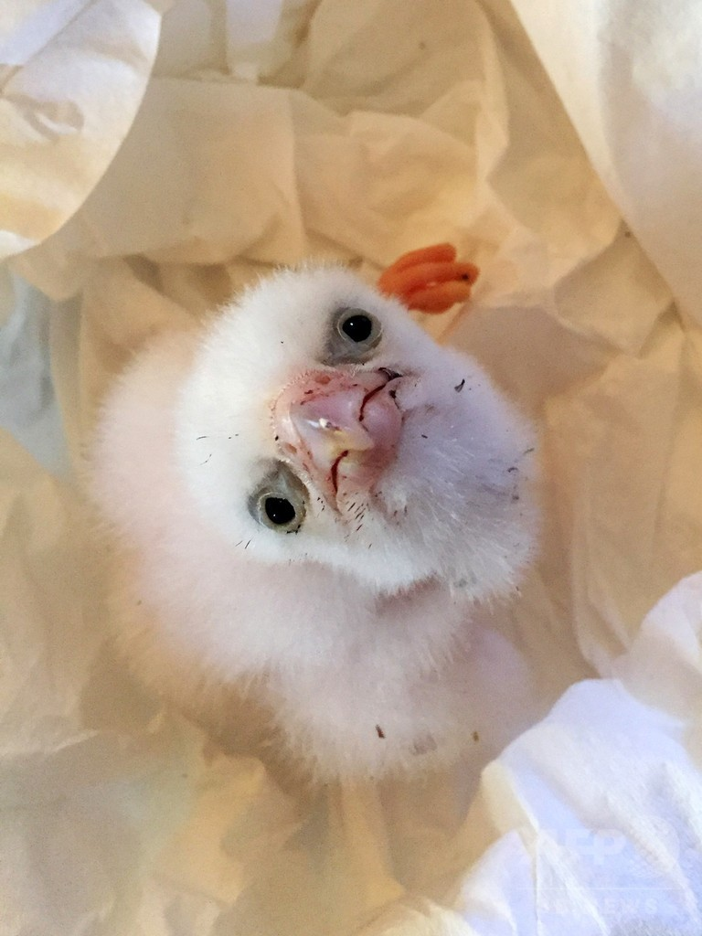 盗まれた希少ハヤブサの卵を保護、ひなも誕生 チリ
