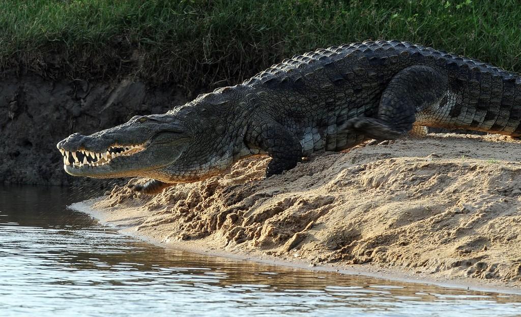 ワニに襲われた英国人記者、死因は「水死」 スリランカ