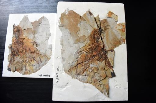 1.6億年前のコウモリのような翼持つ恐竜の化石 遼寧省で発見