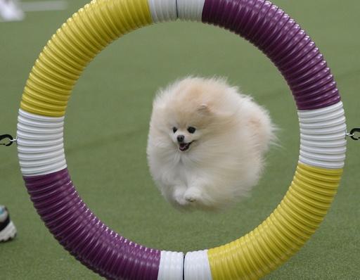 犬の機敏さ競う「アジリティ」選手権、NYで開催