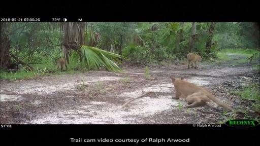 動画:野生のフロリダパンサーやボブキャットに謎の神経障害 歩行困難の症状を捉えた映像 米