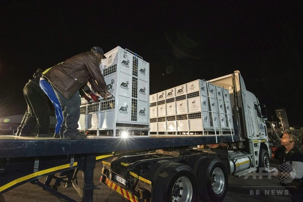 保護されたライオン33頭、南アフリカに到着