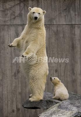 新・ホッキョクグマ赤ちゃんはお母さんと一緒