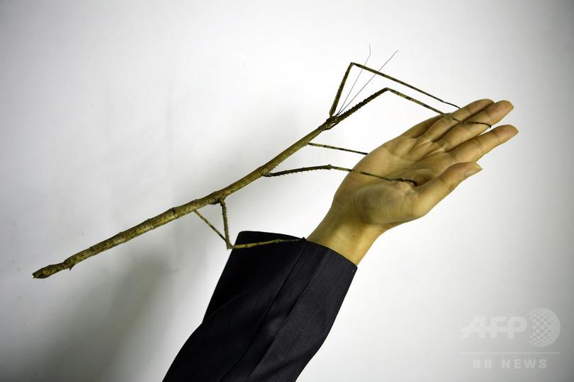 世界最大の昆虫、巨大ナナフシのふ化に初めて成功
