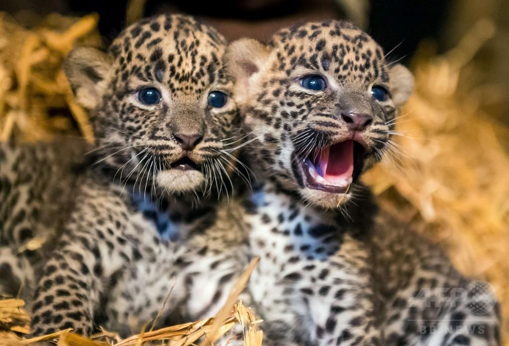 スリランカヒョウの赤ちゃん2頭お披露目、フランス