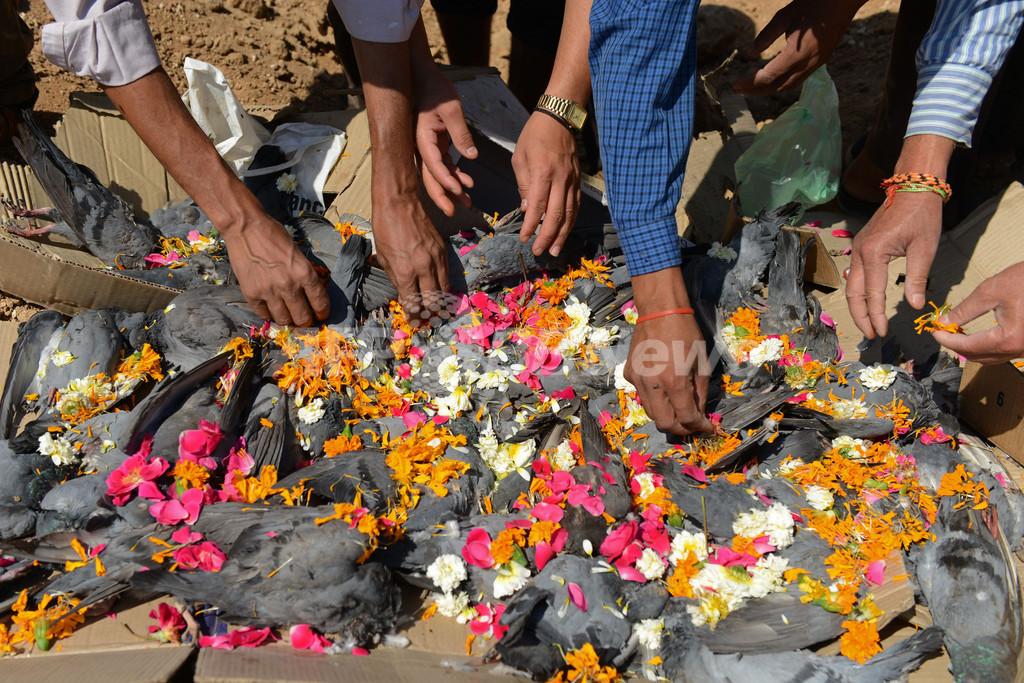 インドで「ハトのお葬式」、工業地区で200羽集団死