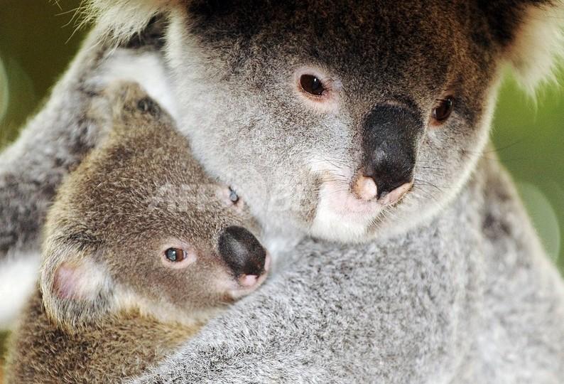 コアラへの銃撃事件相次ぐ、赤ちゃんも標的に 豪南部