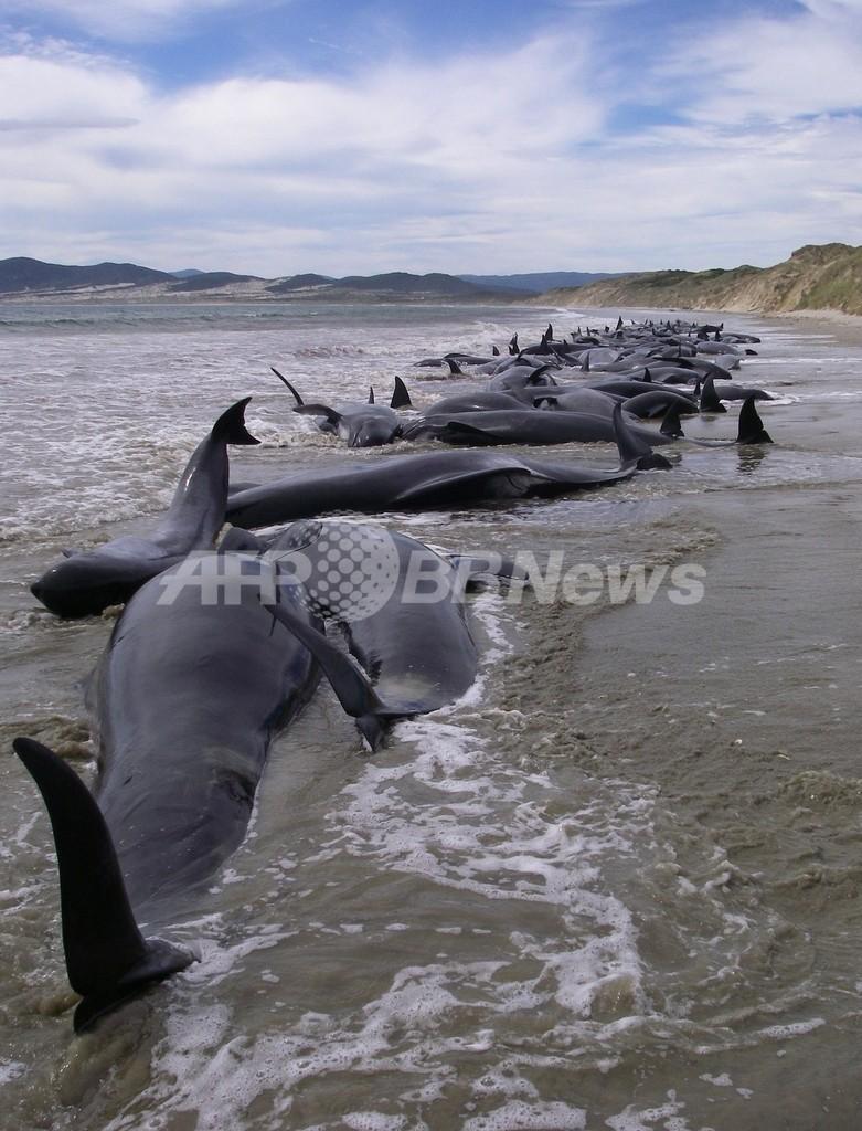 ニュージーランドでクジラの群れ座礁、107頭死亡