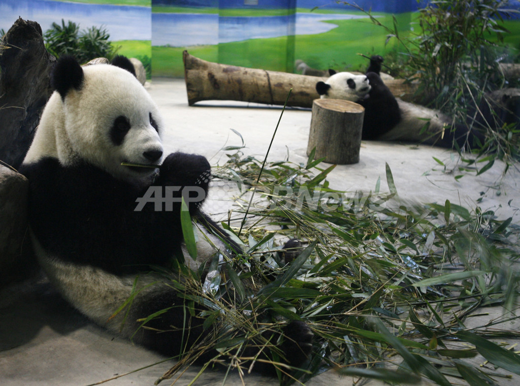縁組1年のパンダ、繁殖への期待に戸惑い気味? 台湾