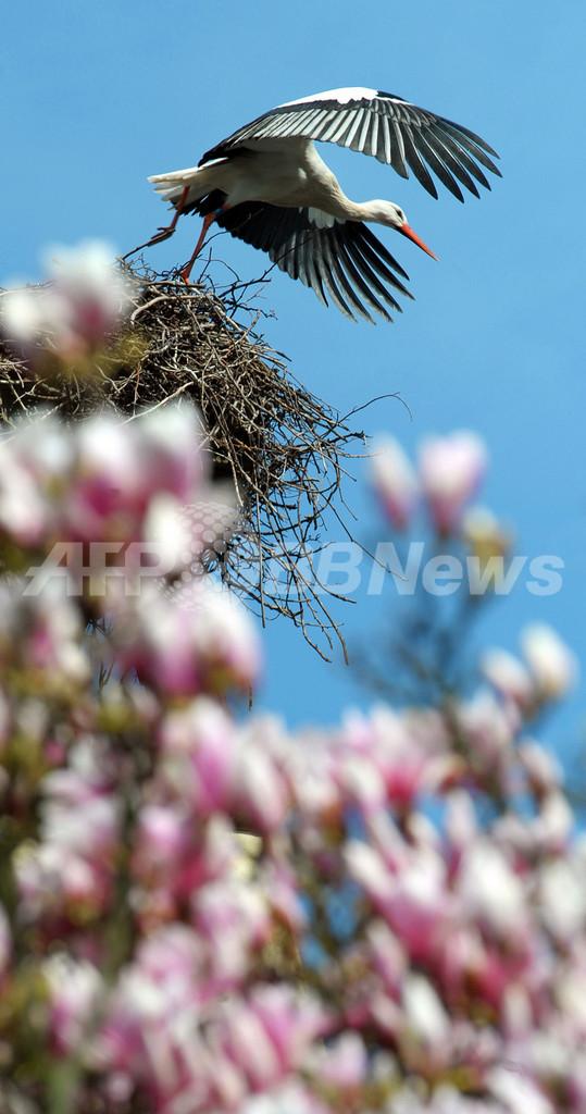 お花見は空の上から、フランスのコウノトリ