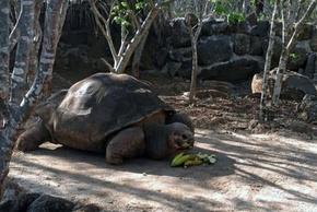 ガラパゴス諸島の名物ゾウガメ「伝道者ペペ」、60歳で死す