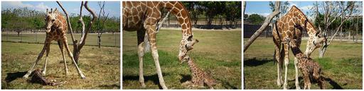 中米で初めて誕生、キリンの赤ちゃん