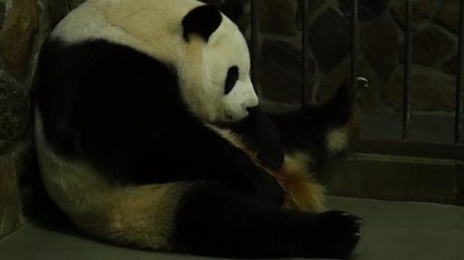 動画:人工飼育下で赤ちゃんパンダ誕生、今年の第1号 四川