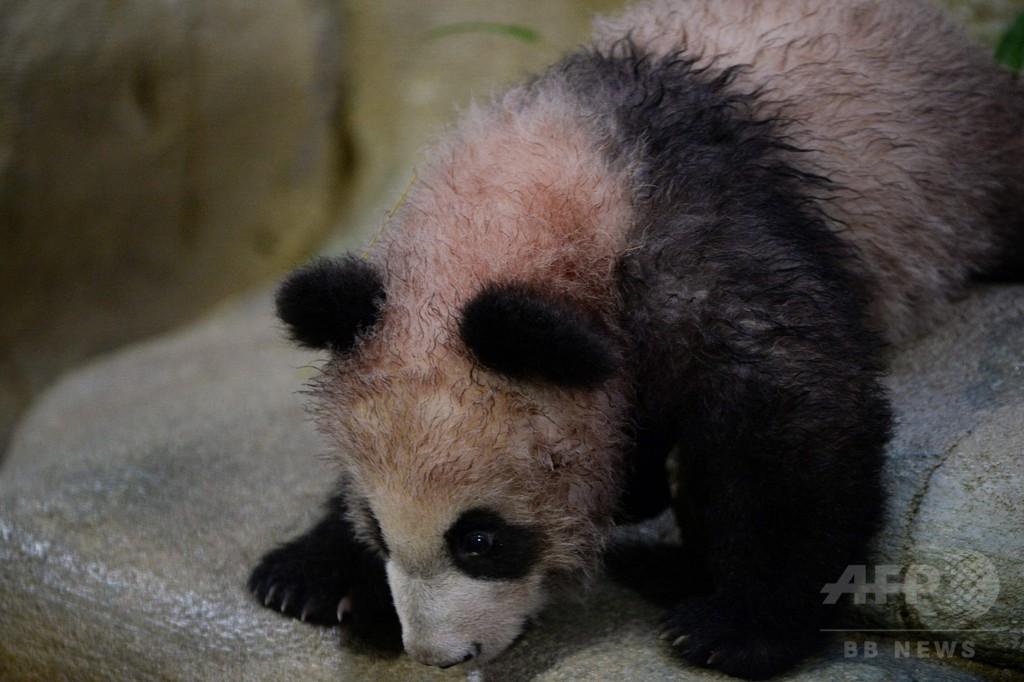 フランスの赤ちゃんパンダも一般公開、生後5か月のユアンメン
