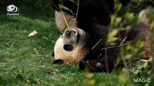 動画:【パンダフル】寝ながら食べても…かわいいから大丈夫