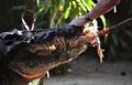 世界最大のワニ、豪州のカシウスが王座返り咲き