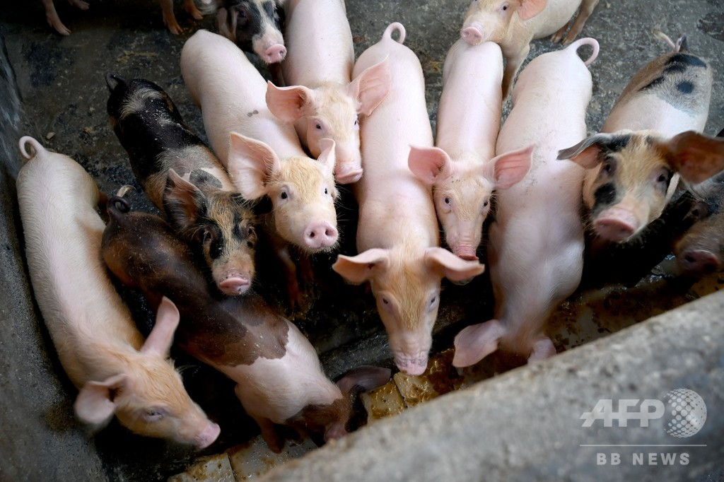 バリ島でアフリカ豚コレラ感染を確認、約900頭死ぬ
