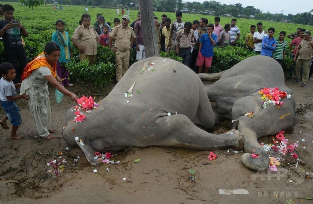 ゾウ2頭が感電死、1頭は仲間を助けようとしていた インド