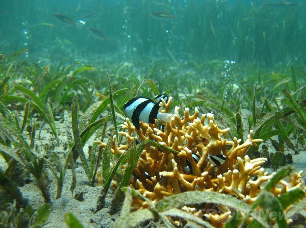 地球温暖化による海水の酸化、魚が生存本能失う可能性 研究