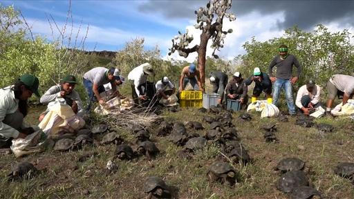 動画:大きくなってね! ゾウガメの子ども155匹放たれる ガラパゴス諸島