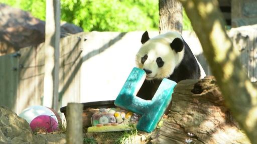 動画:パンダの「ベイベイ」4歳に、ひんやりケーキでお祝い ワシントン