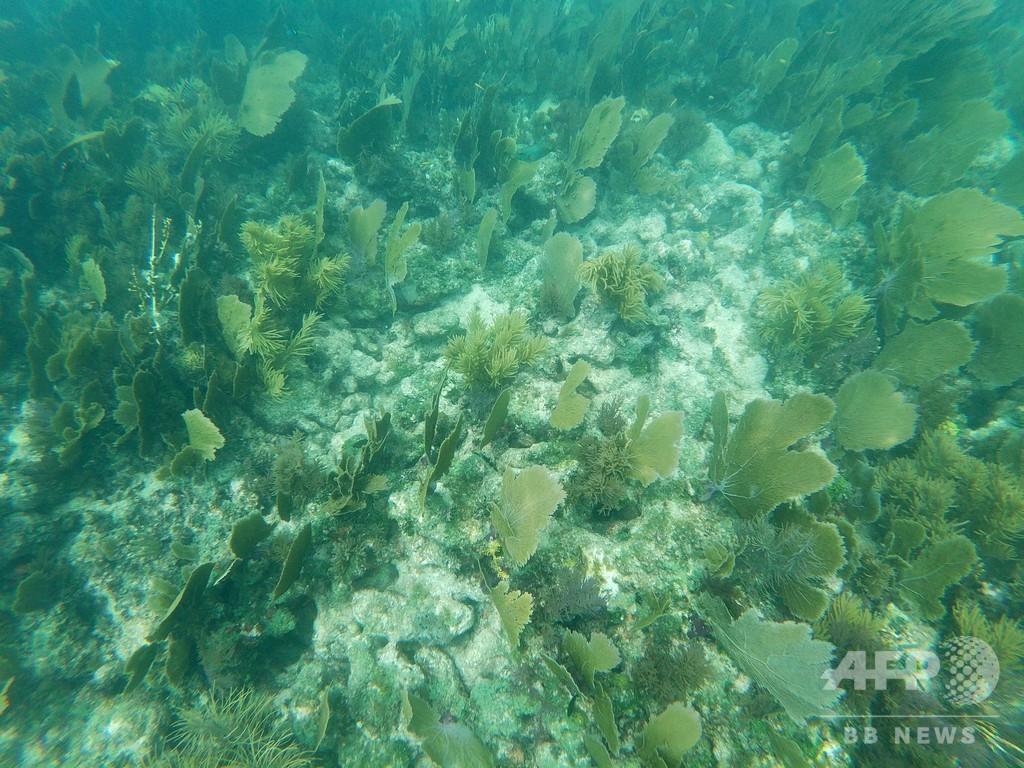 米水族館、大西洋サンゴの人工繁殖に初成功 保護に望み