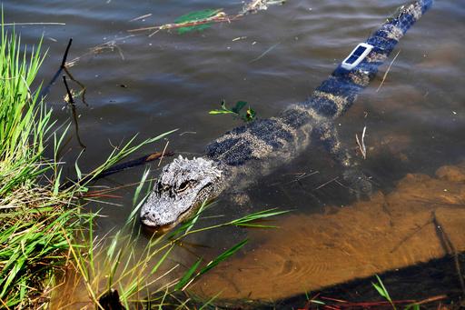 安徽省でヨウスコウワニ120匹を野外放流 GPSつけてモニタリングも