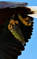個体数減少の危機にあるケニアのサンショクウミワシ