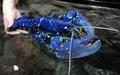極めて珍しい青いロブスター、数百万匹に1匹 フランス