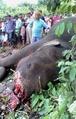 「連続殺人ゾウ」を射殺、インド