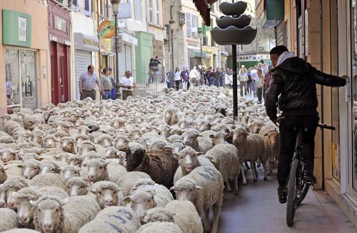 町中が「ヒツジの海」に・・・オオカミ再導入に抗議、フランス