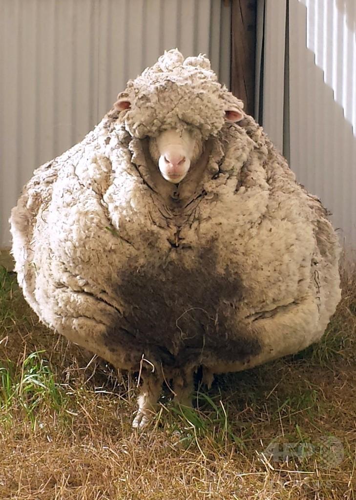 毛伸びすぎた巨大羊、豪で発見 毛刈りに全国チャンピオンが名乗り