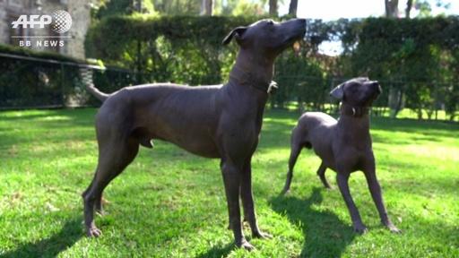 動画:毛のないメキシコ伝統犬「ショロイツクインツレ」、ヒップスター時代に人気再燃