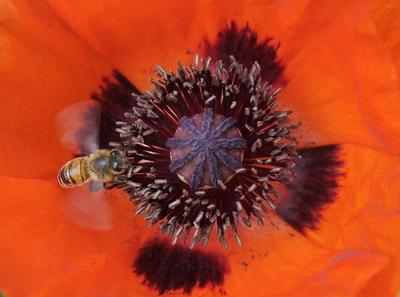 ミツバチの激減、市販殺虫剤が影響の可能性 英仏研究