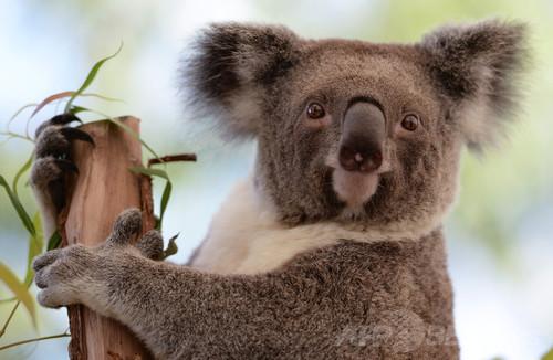 コアラの暑さ対策は「木に抱きつく」、アカシアなら5度も涼しく