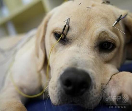 ペットも伝統の鍼治療上海のクリニック、4年間で4000匹以上治療
