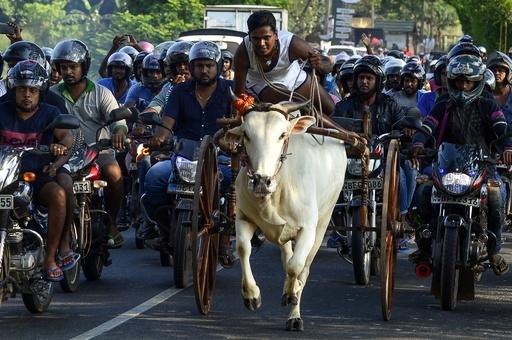 スリランカ伝統の牛車レース、牛もバイクも大迫力