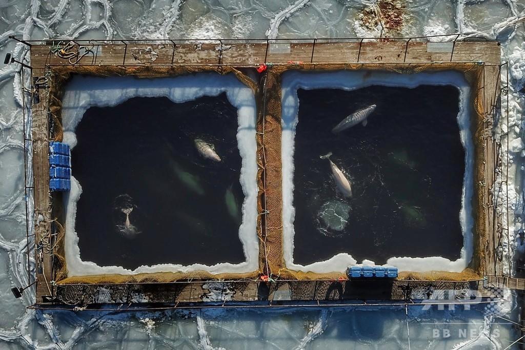 水族館への輸出目的で捕獲、「イルカ監獄」から最後の21頭解放 ロシア